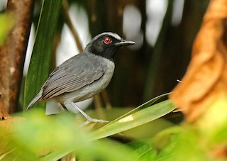 - Ash-breasted Antbird