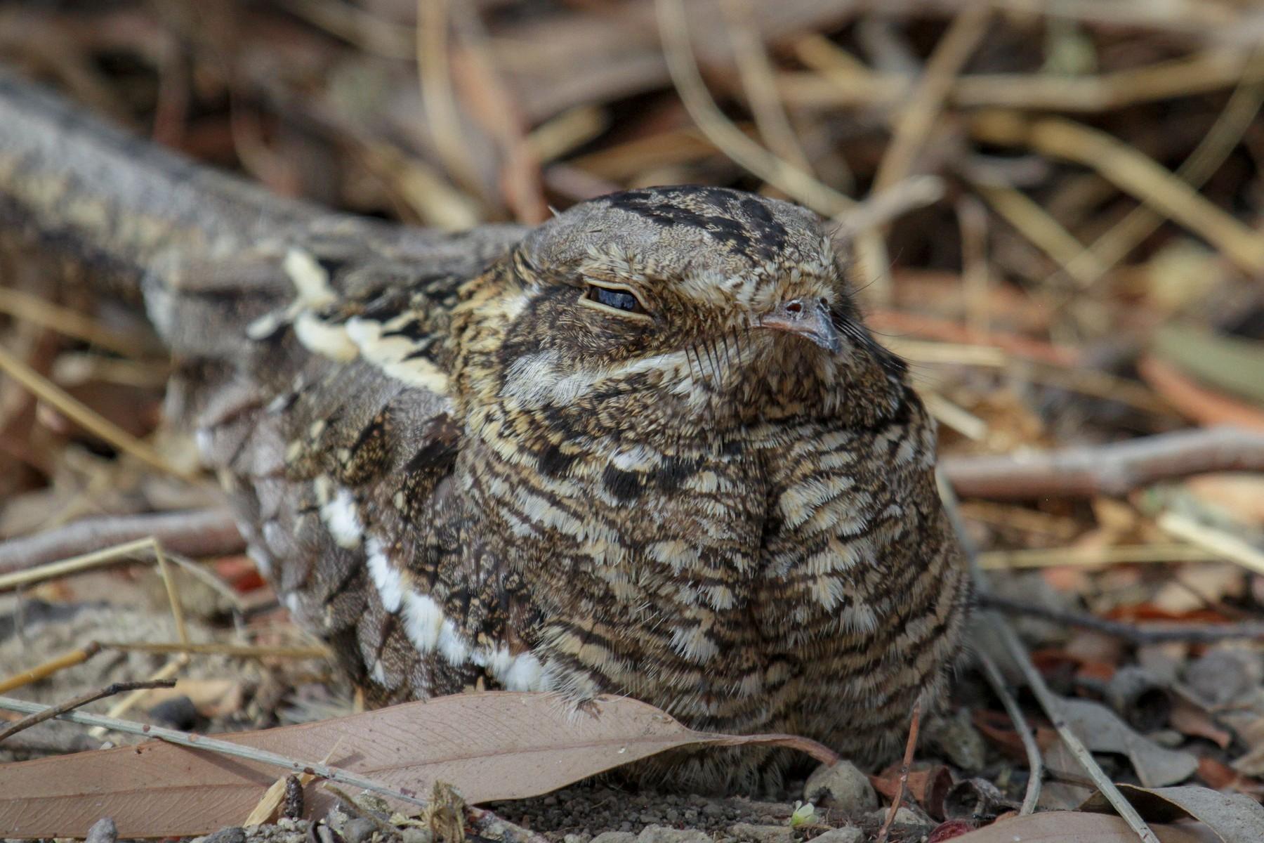 Slender-tailed Nightjar - Tommy Pedersen