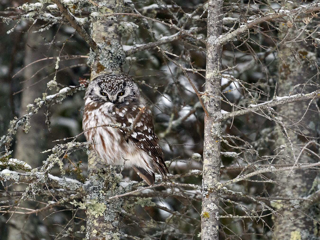 Boreal Owl - Shayna Marchese