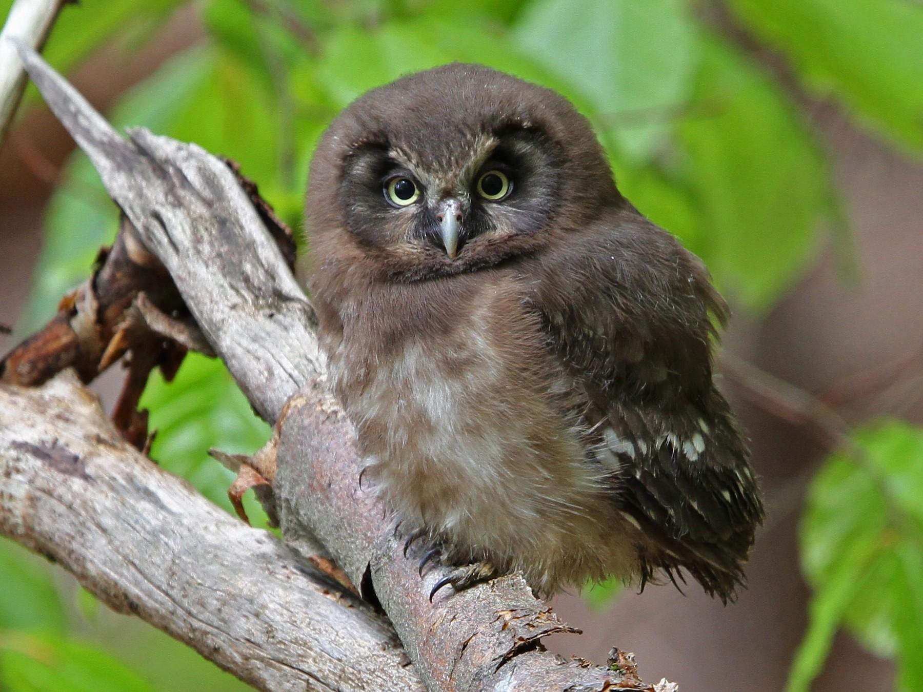 Boreal Owl - Christoph Moning