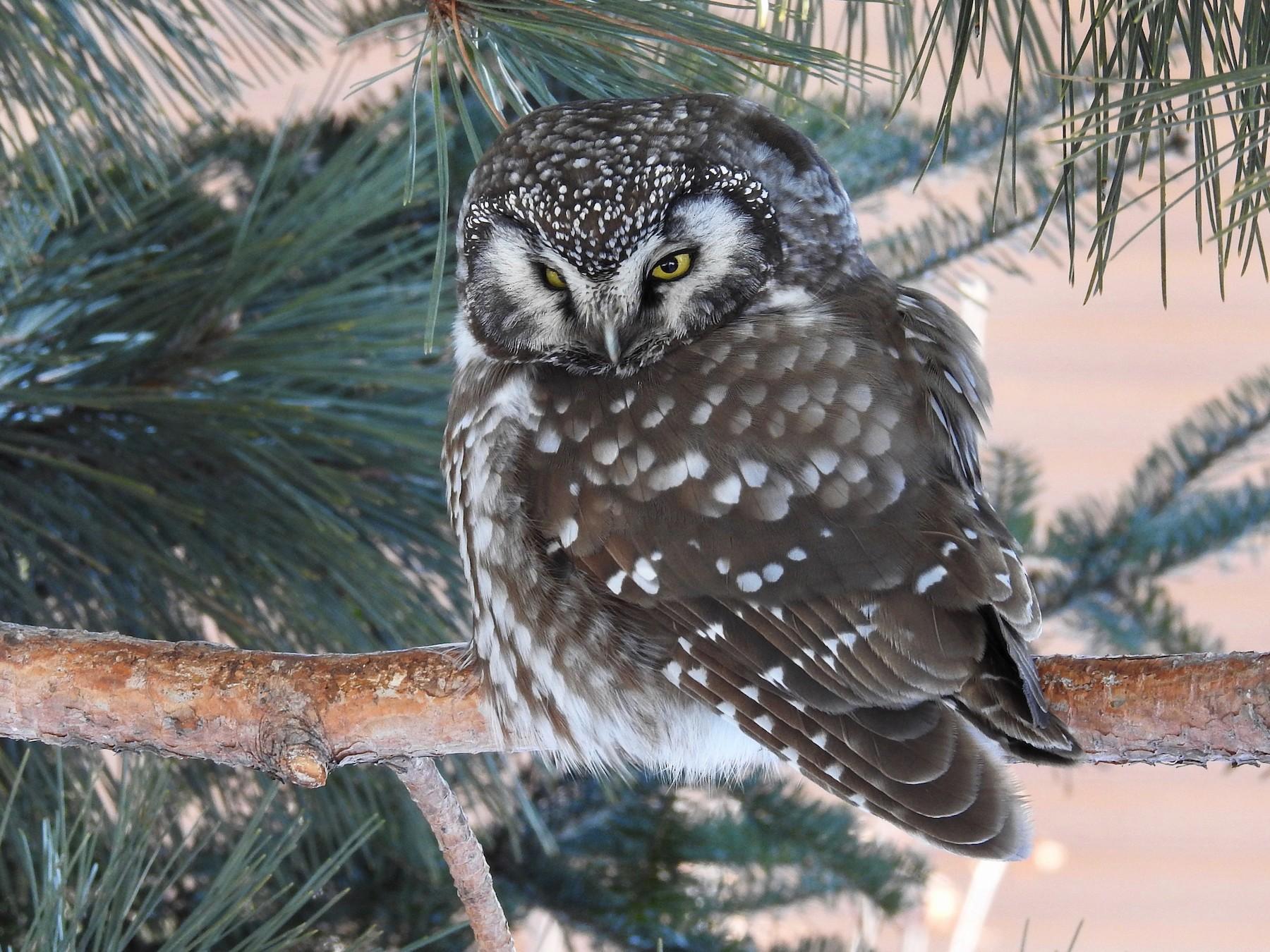 Boreal Owl - Jean Brislance