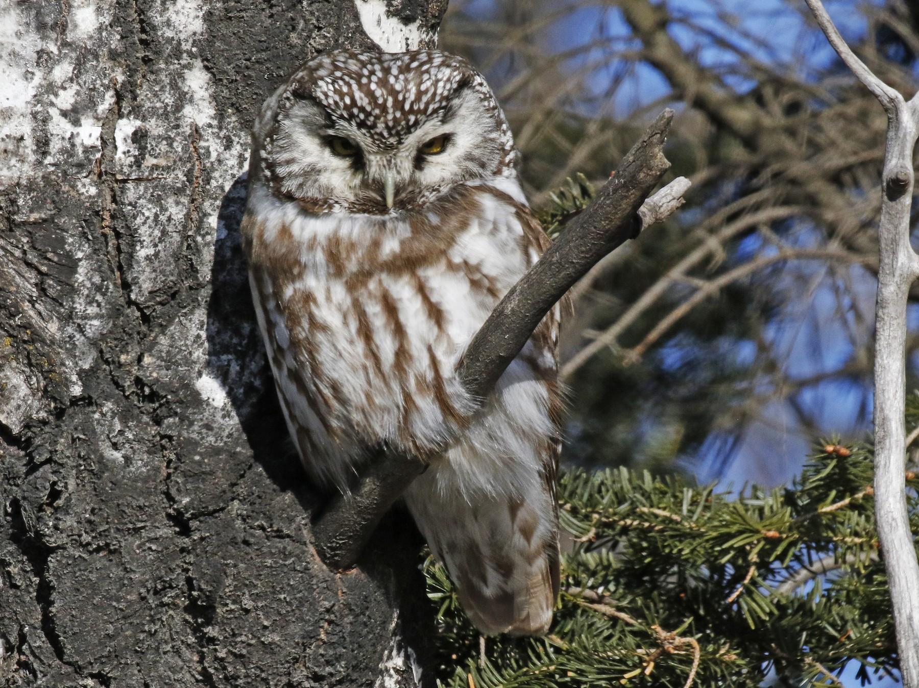 Boreal Owl - David McQuade