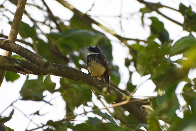 ©Rajesh Radhakrishnan - Spot-breasted Fantail