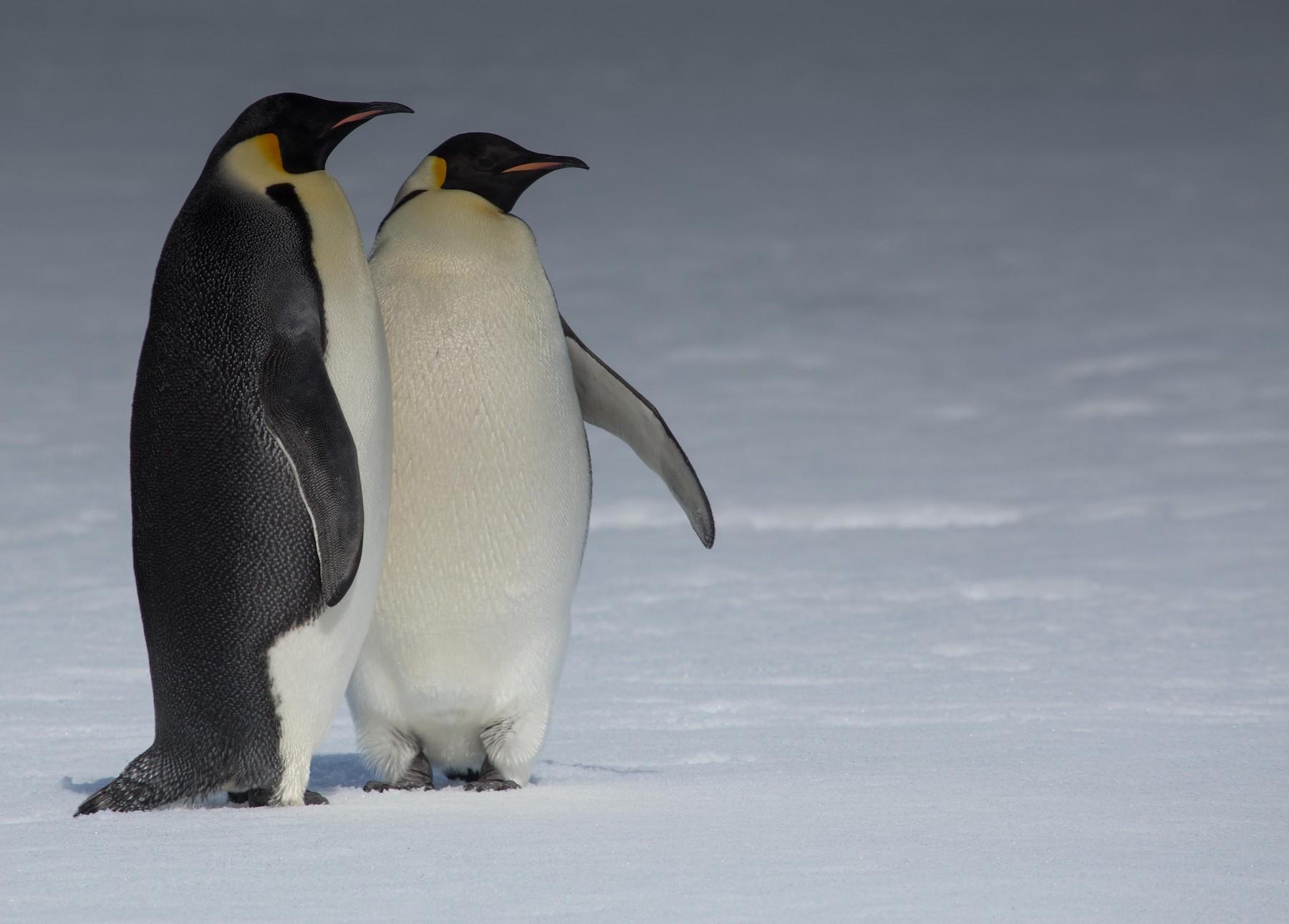 Emperor Penguin - Santiago Imberti