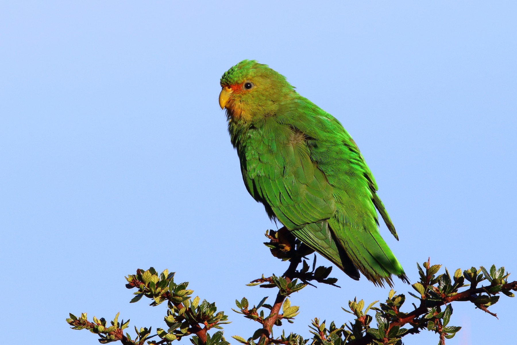 Rufous-fronted Parakeet - Bob Shettler