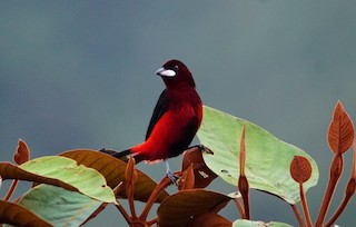 - Black-bellied Tanager