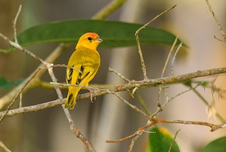 - Orange-fronted Yellow-Finch