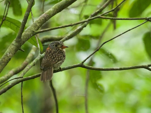 Semicollared Puffbird
