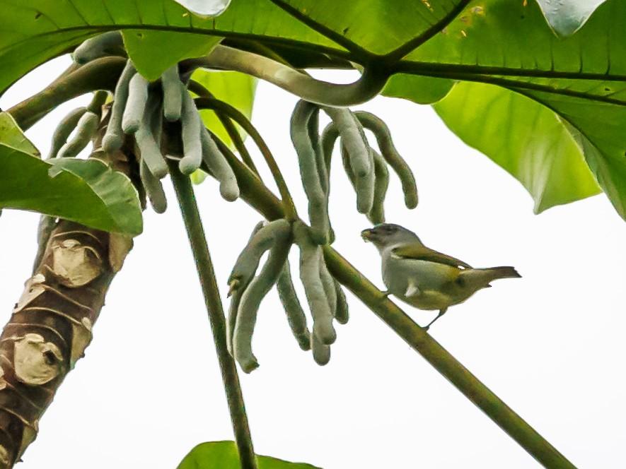 Jamaican Euphonia - Carole Rose