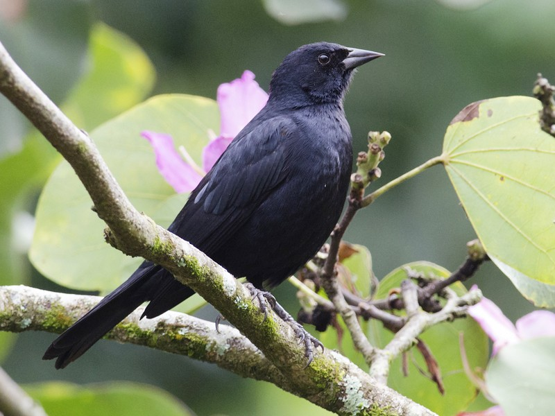 Tawny-shouldered Blackbird - Joshua Vandermeulen