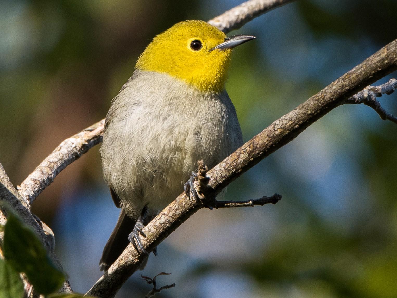 Yellow-headed Warbler - Ian Routley