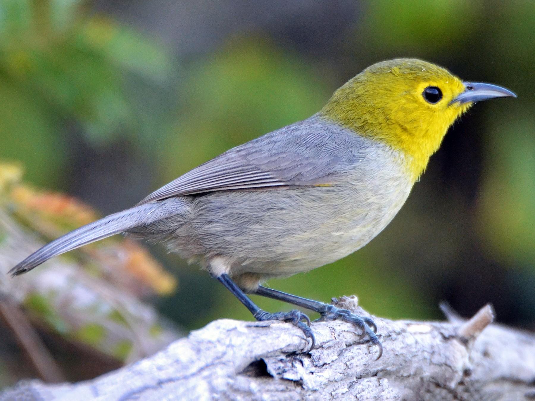 Yellow-headed Warbler - Michael J Good