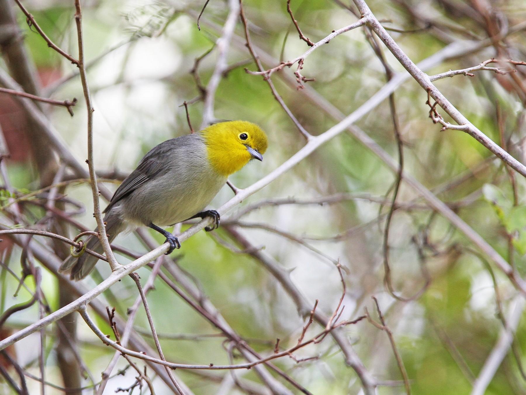 Yellow-headed Warbler - Christoph Moning
