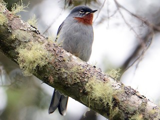 - Rufous-throated Solitaire