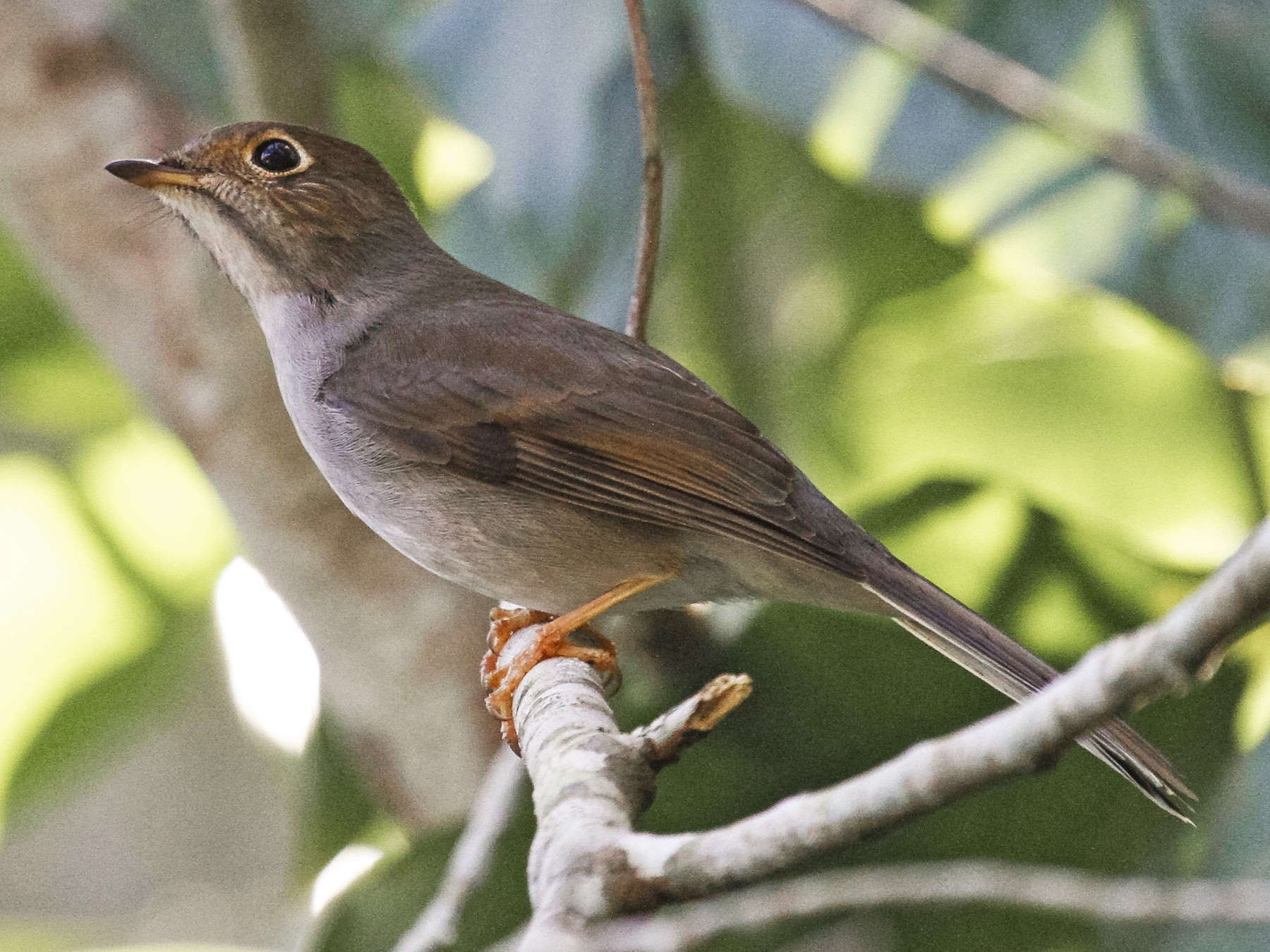Cuban Solitaire - Peter Kennerley