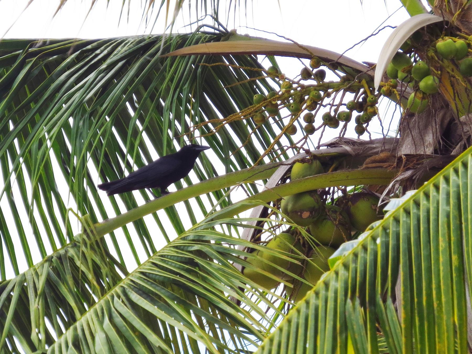 Cuban Crow - Audrey Whitlock