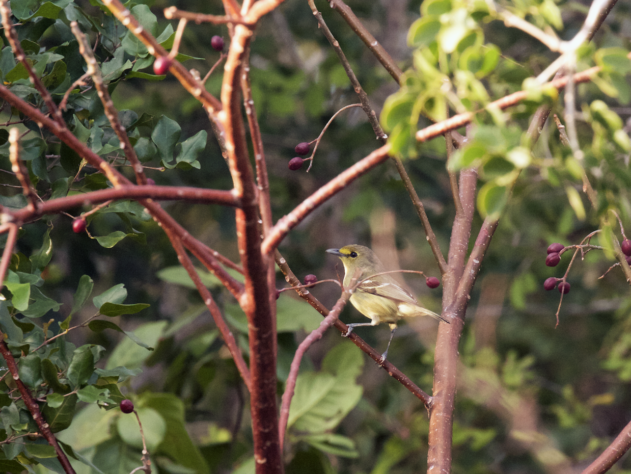 Thick-billed Vireo - Nick Dorian
