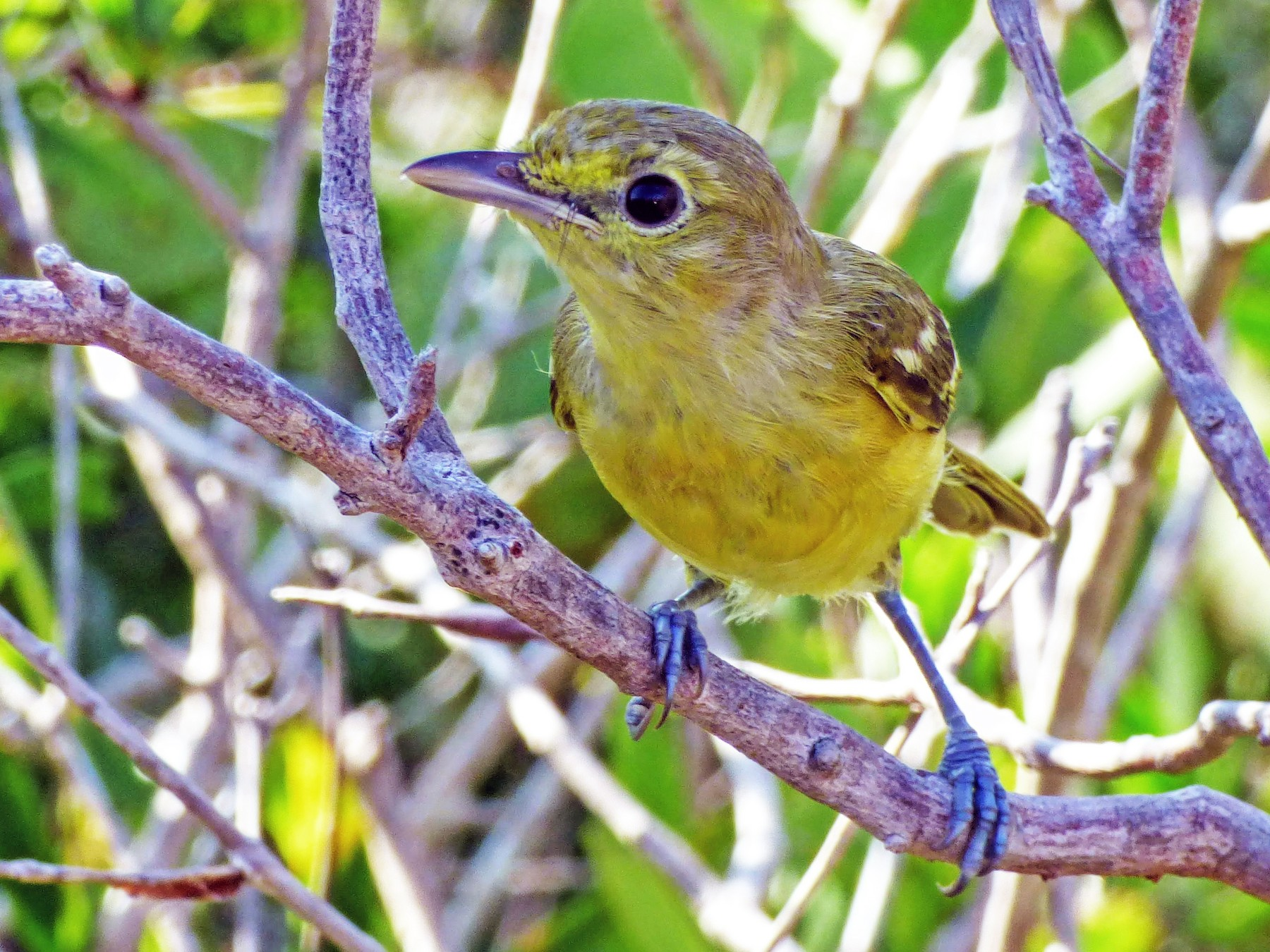 Thick-billed Vireo - Sarah May