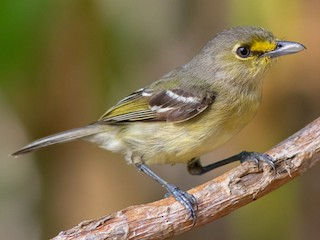 - Thick-billed Vireo