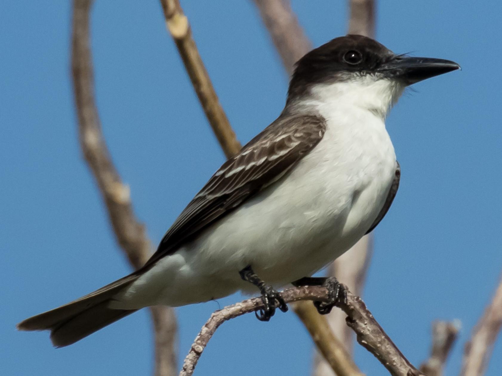 Giant Kingbird - R Dennis Ringer