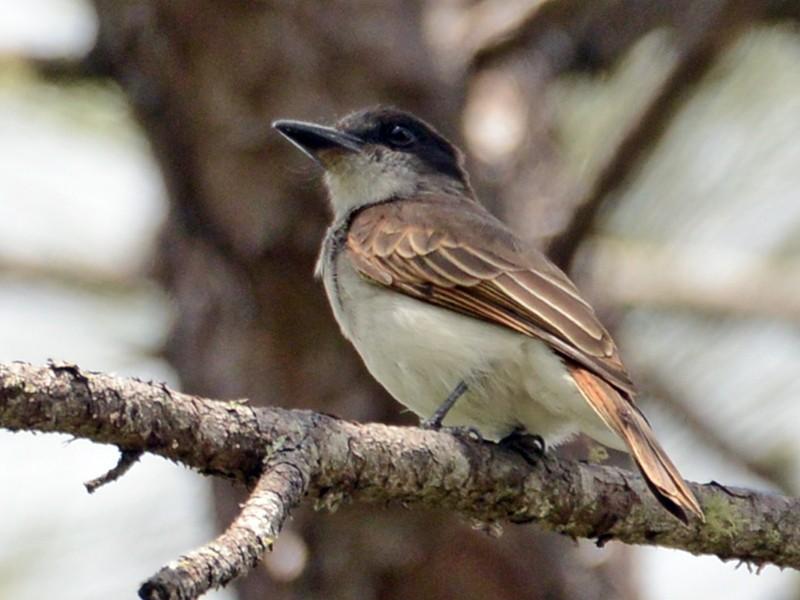 Loggerhead Kingbird - Alan Van Norman