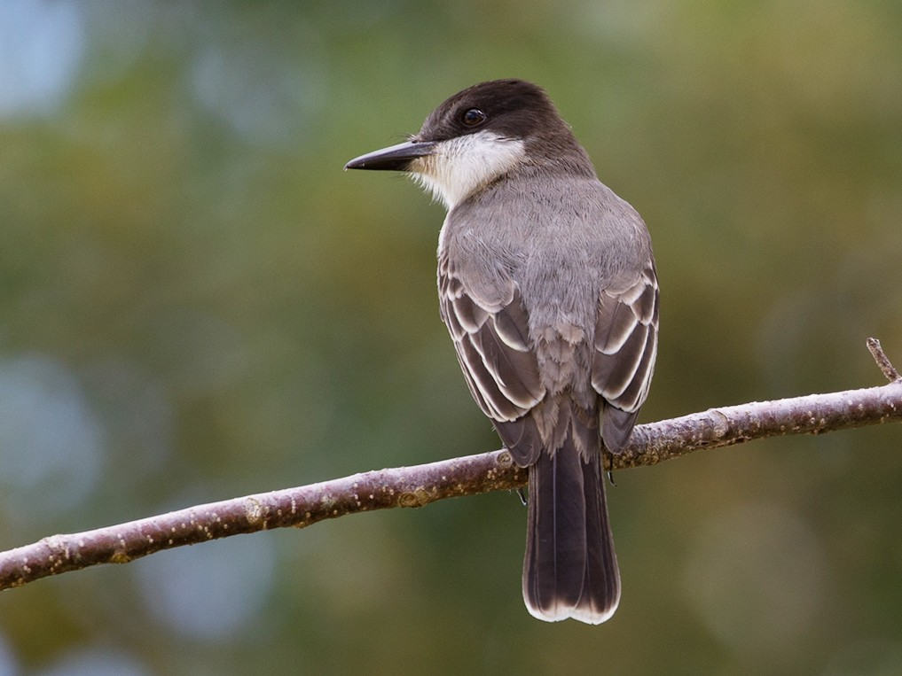 Loggerhead Kingbird - Suzanne Labbé