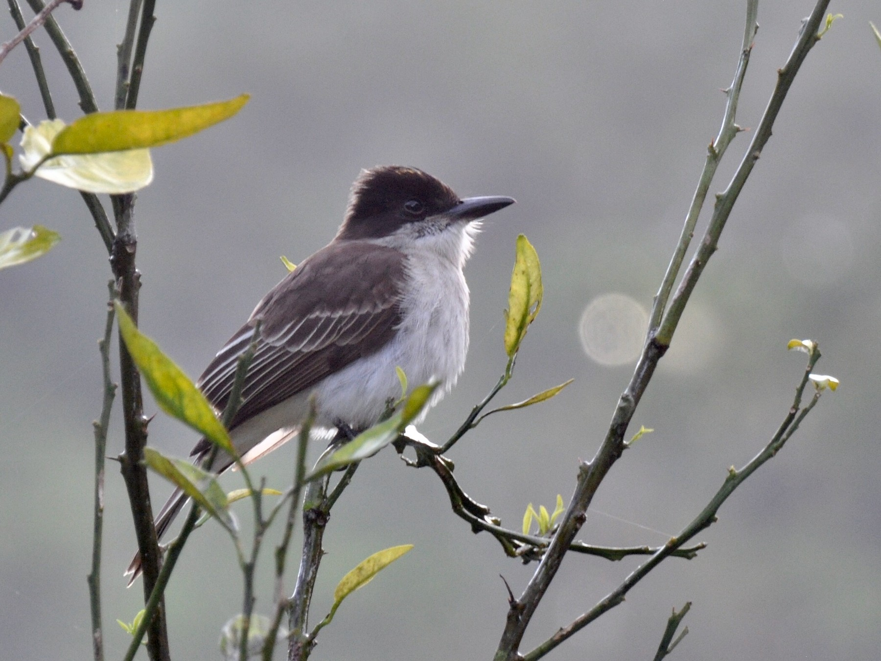 Loggerhead Kingbird - James Thompson