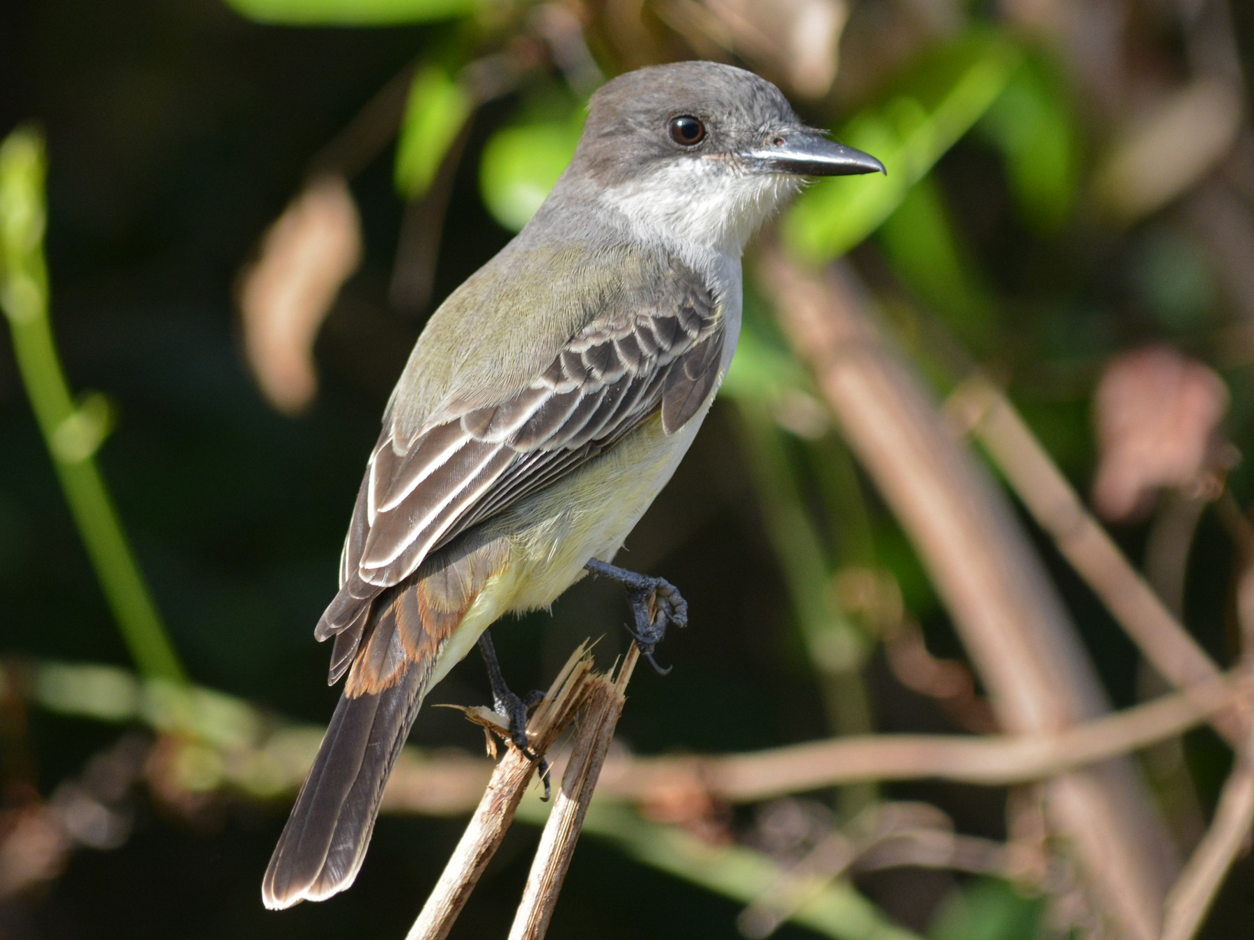 Loggerhead Kingbird - Mike Knowles