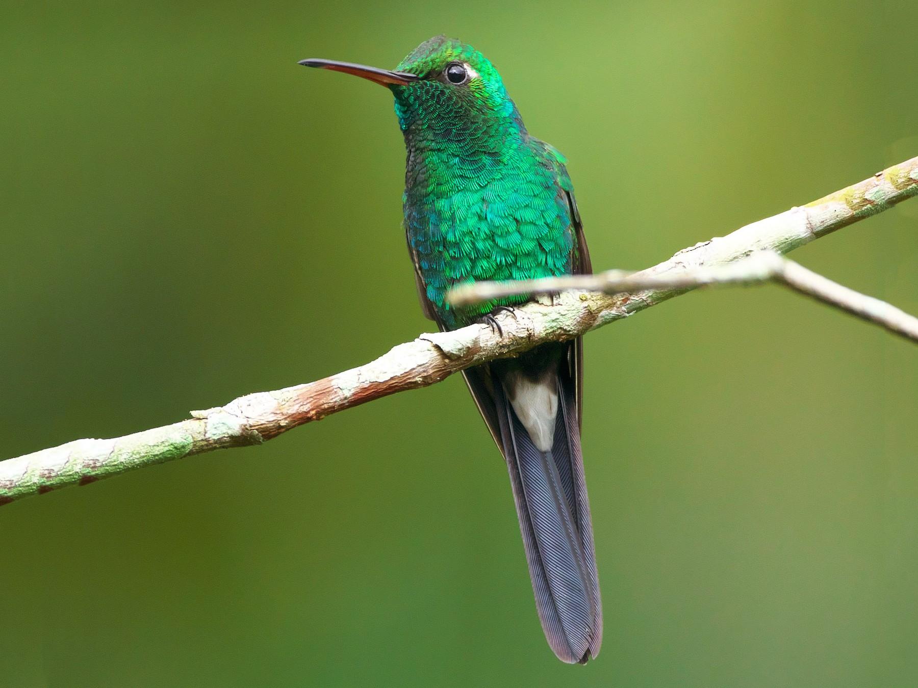 Cuban Emerald - Paul Tavares