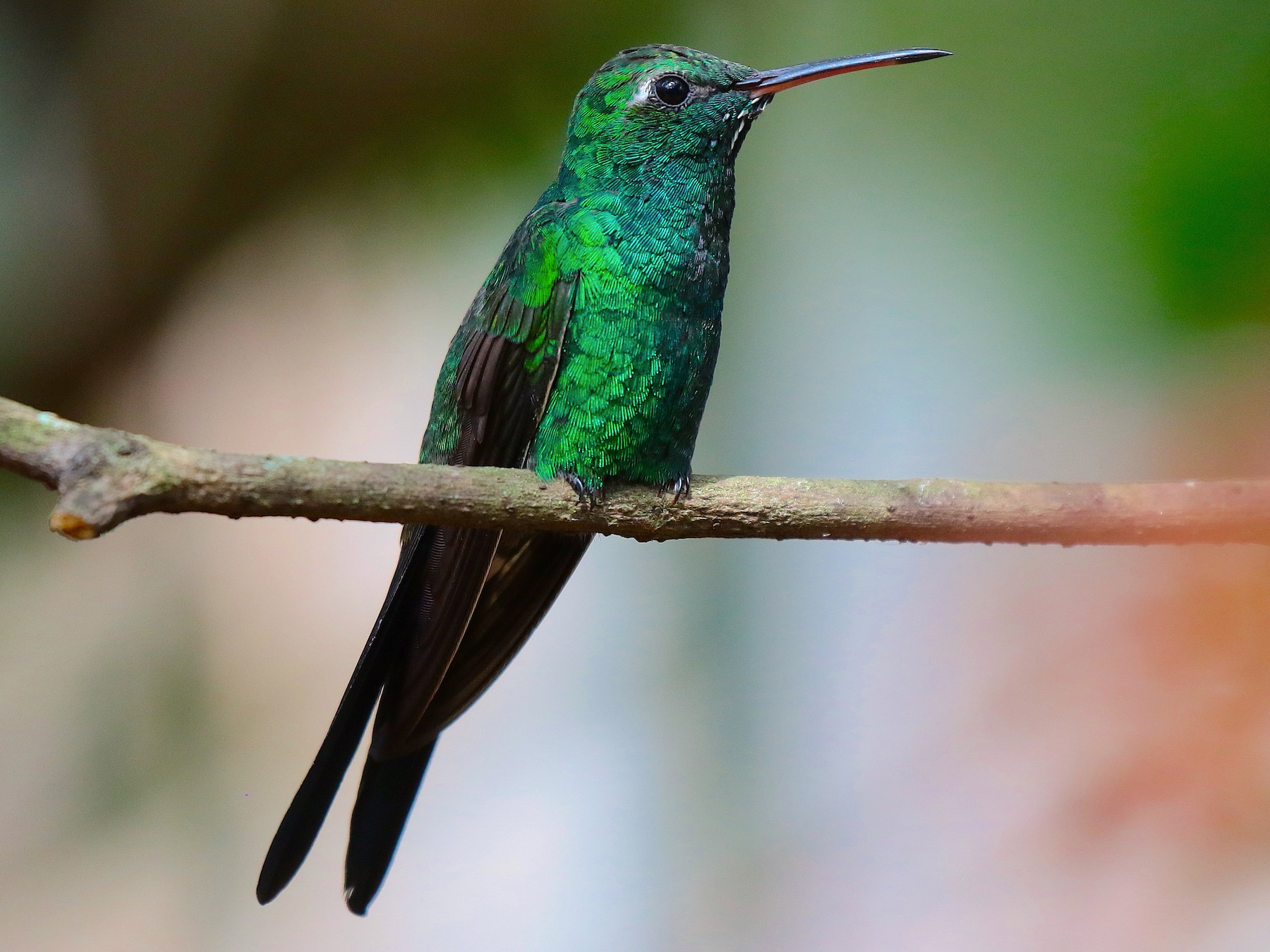 Cuban Emerald - Arco Huang