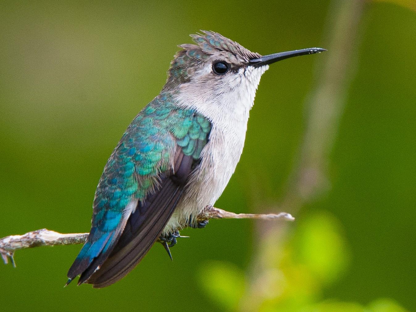 Bee Hummingbird - Wayne Fidler