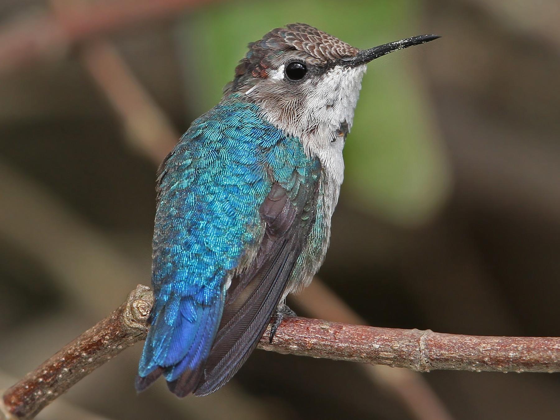 Bee Hummingbird - Christoph Moning