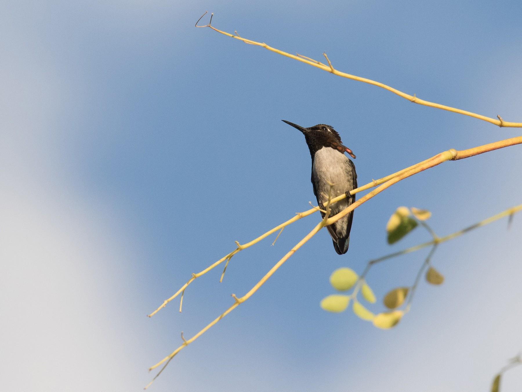 Bee Hummingbird - Josh Engel
