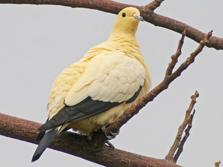 Pied Imperial-Pigeon - Corey Finger