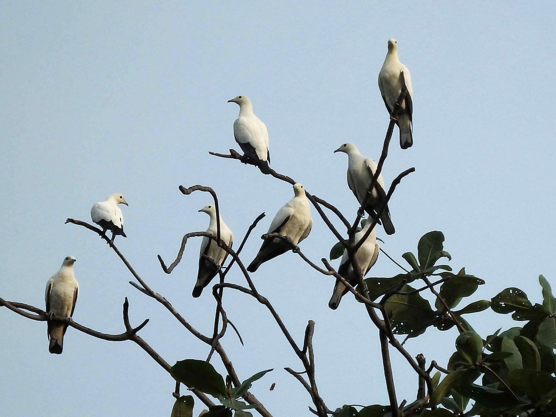 Pied Imperial-Pigeon - Kian Guan Tay