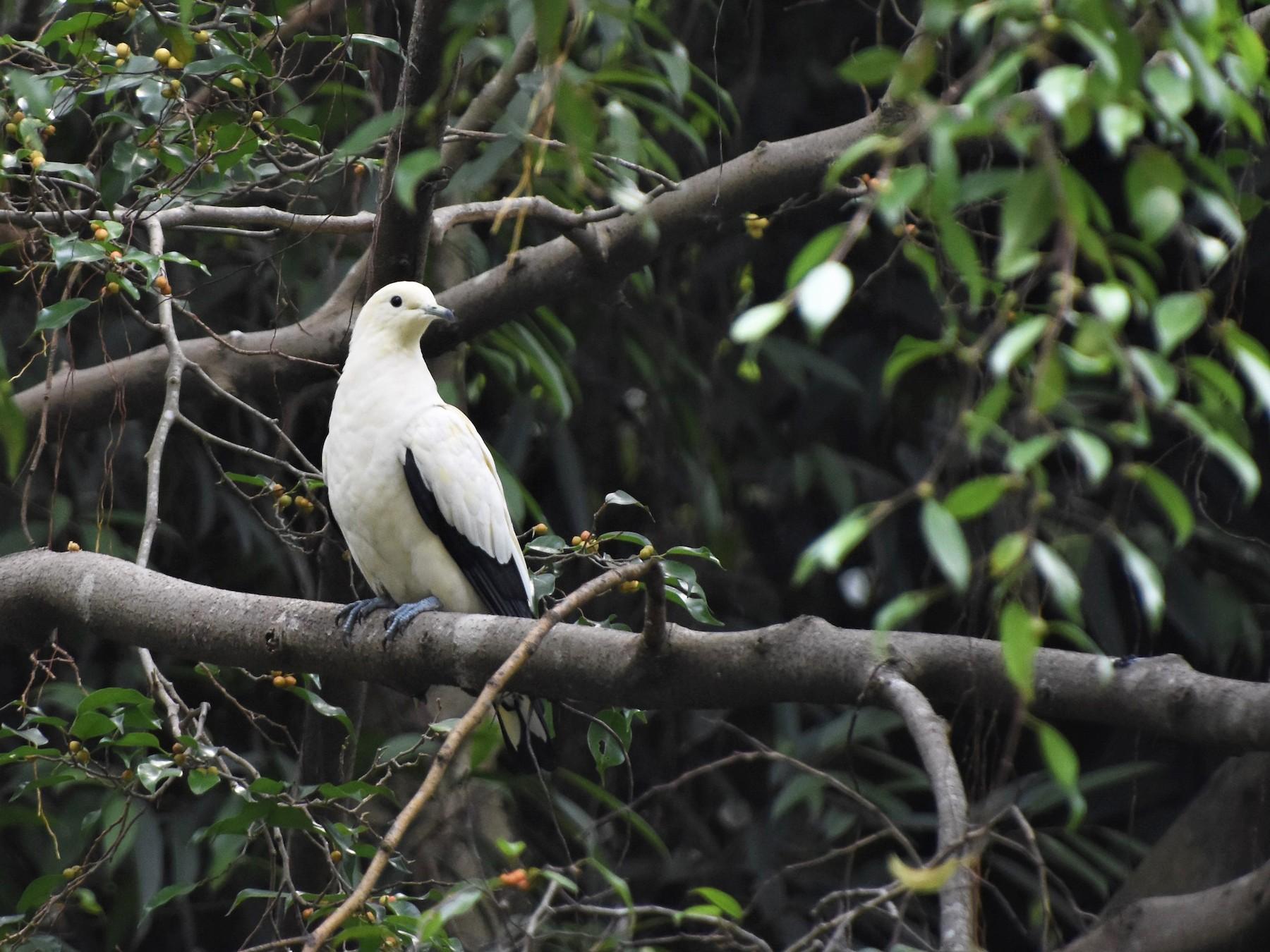 Pied Imperial-Pigeon - AVINASH SHARMA