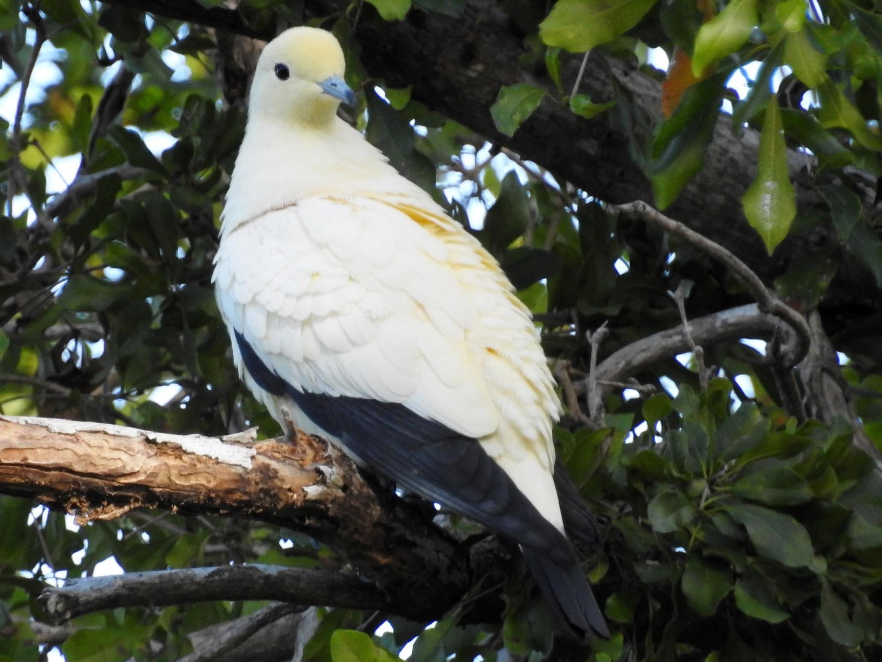 Pied Imperial-Pigeon - Luis Gonzalez