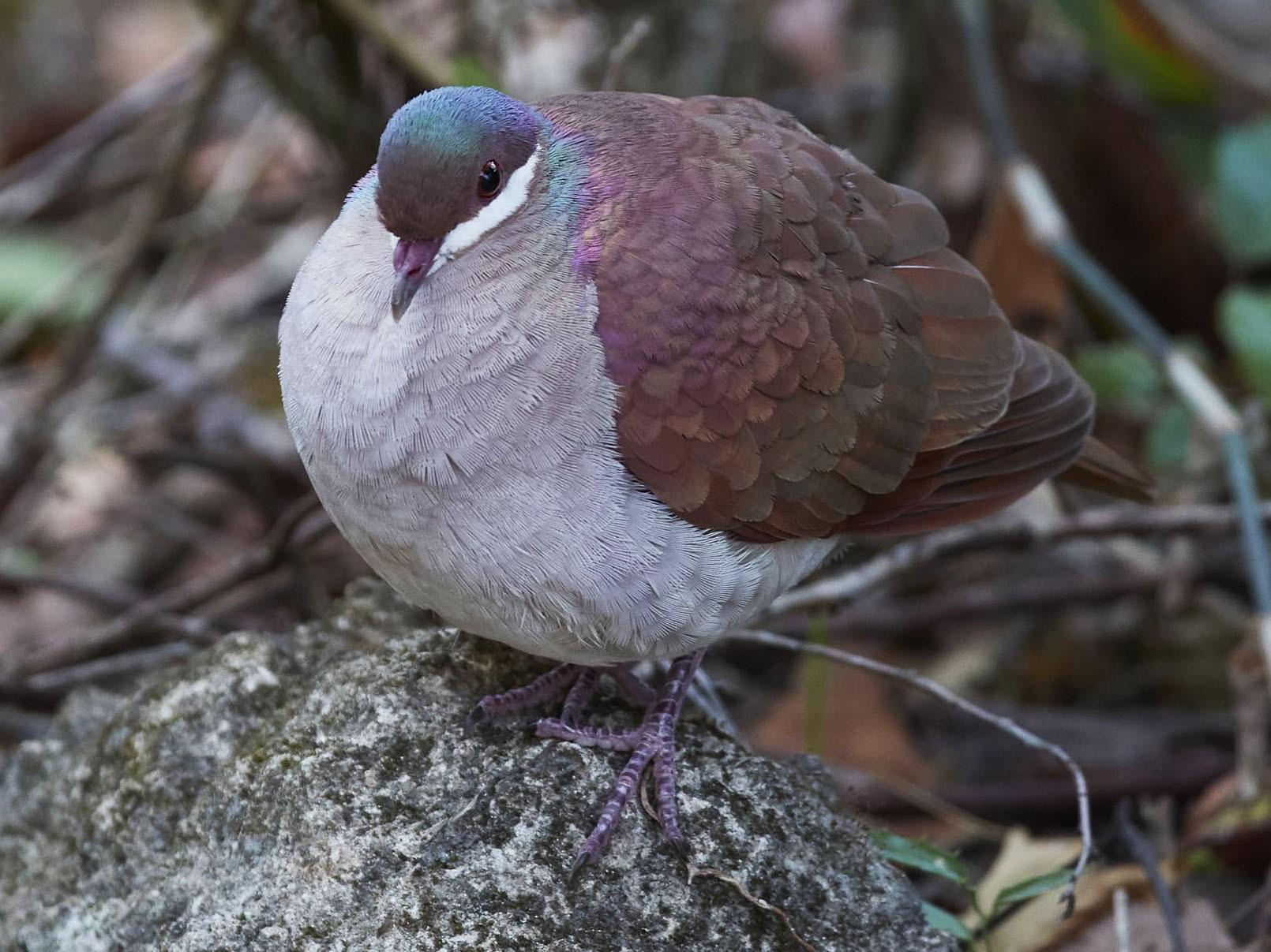 Key West Quail-Dove - Arturo Kirkconnell Jr