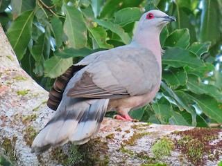 - Ring-tailed Pigeon