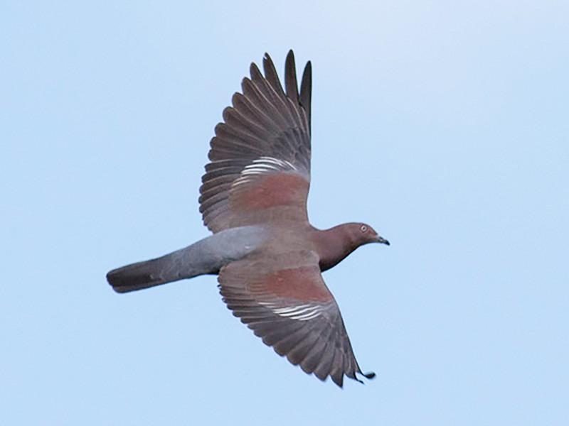 Plain Pigeon - matthew sabatine