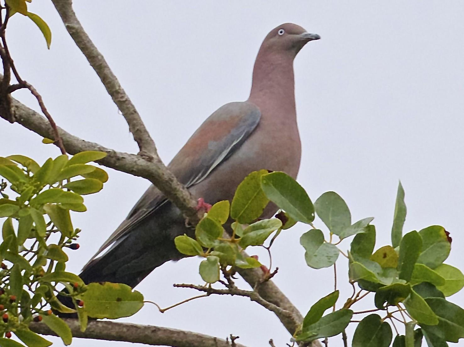 Plain Pigeon - Gil Ewing