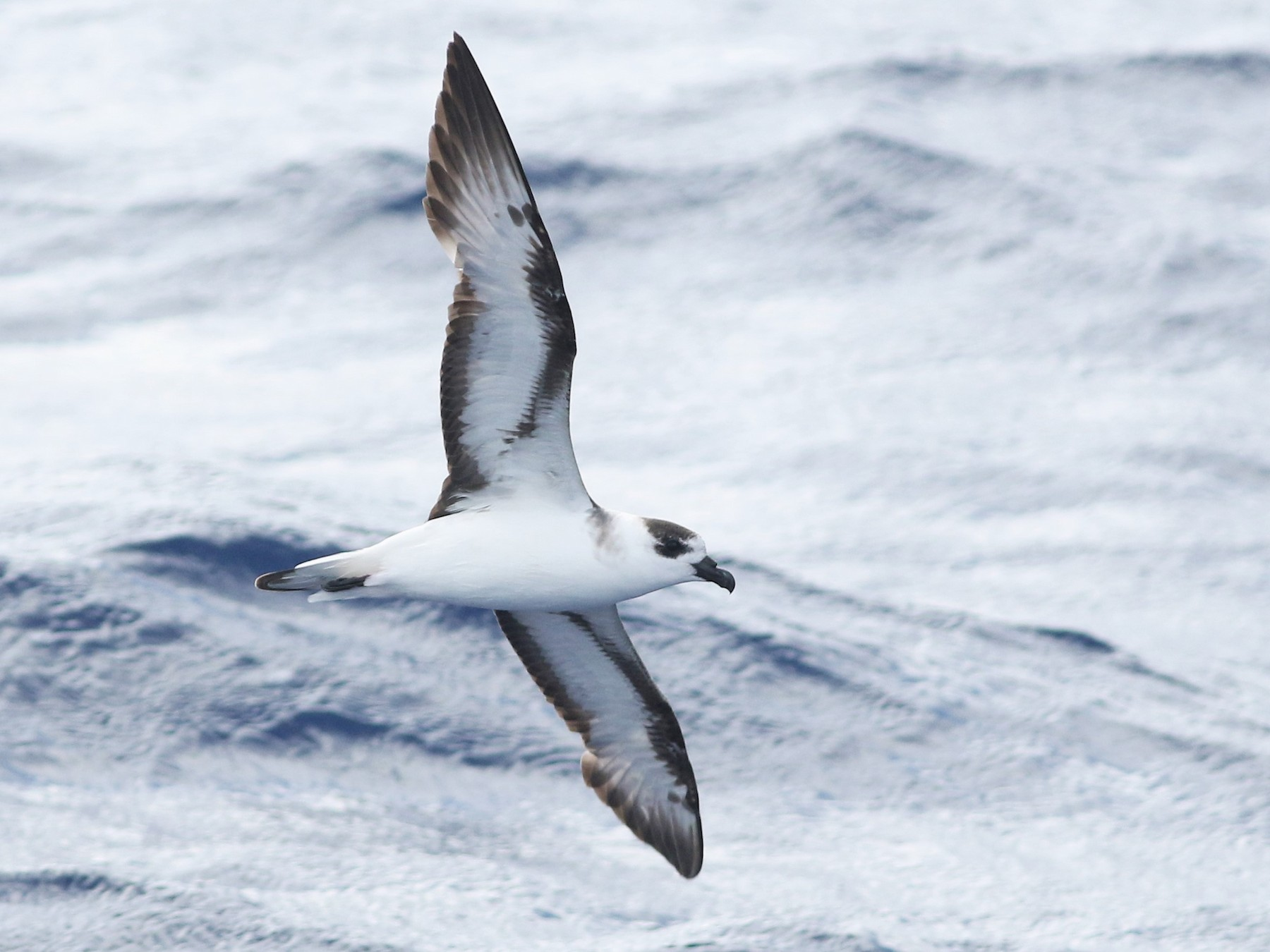 Black-capped Petrel - Peter Flood