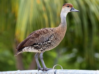 - West Indian Whistling-Duck