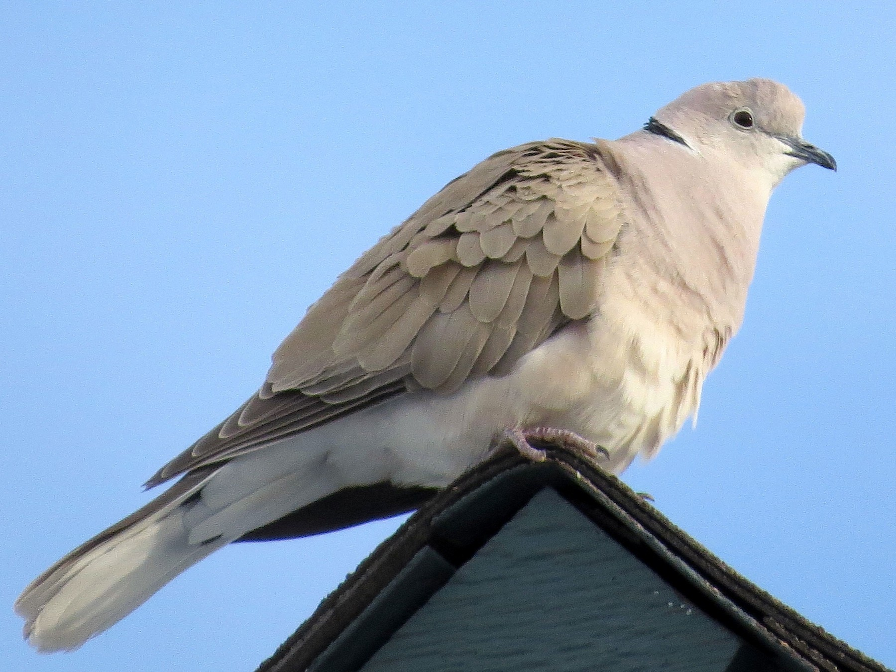 African Collared-Dove - Ted Floyd