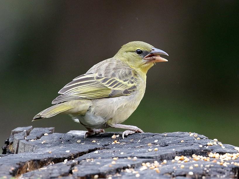 Village Weaver - Charley Hesse TROPICAL BIRDING