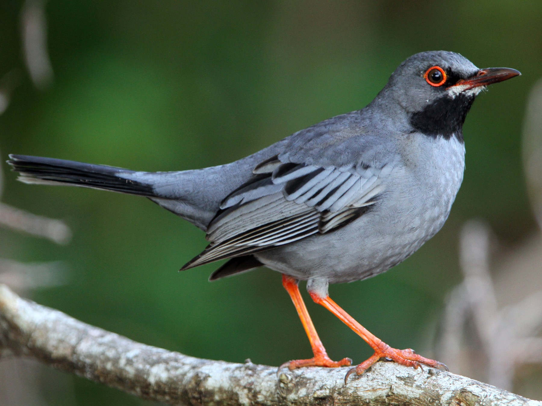 Red-legged Thrush - Christoph Moning