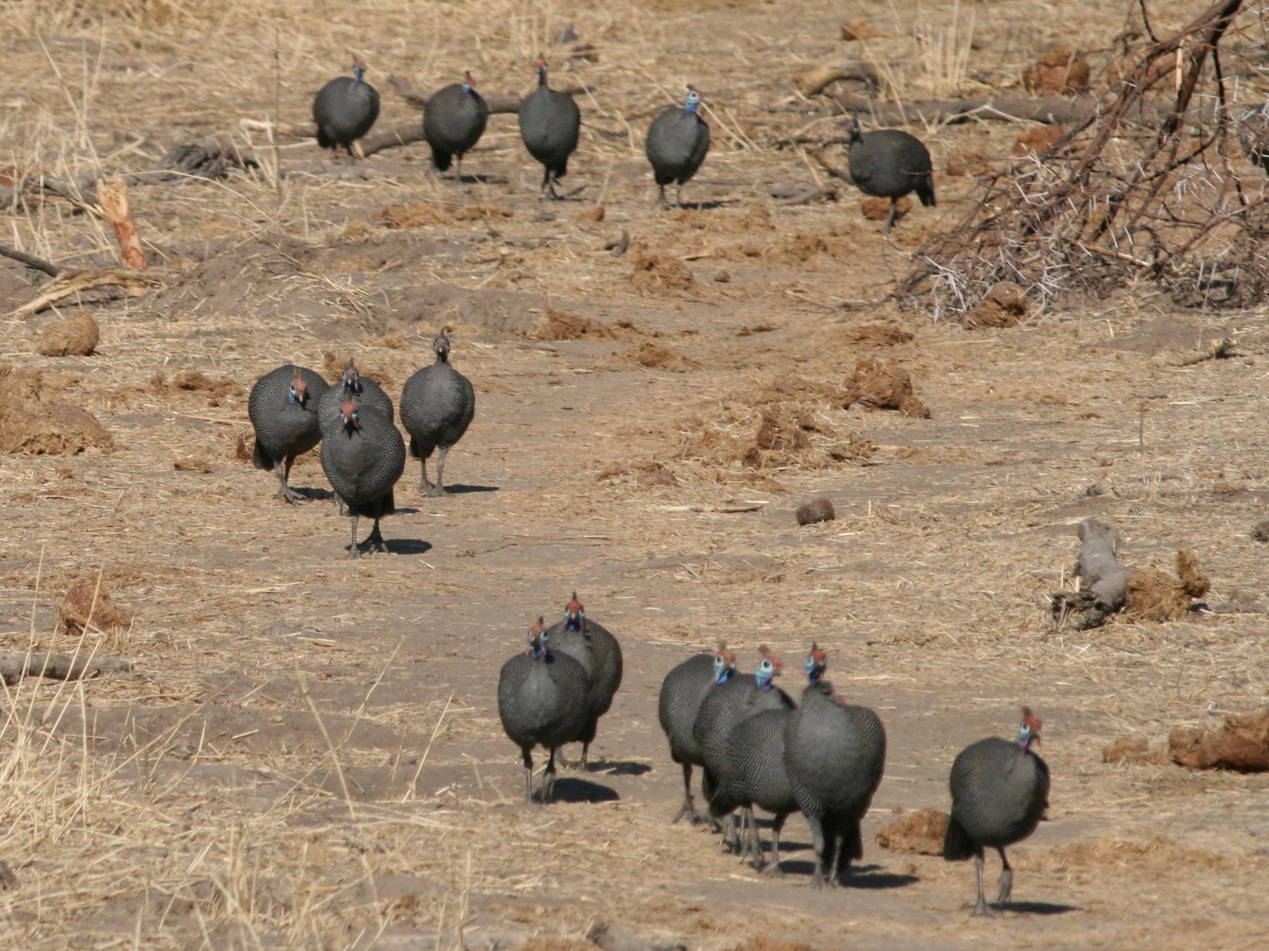 Helmeted Guineafowl - Hendrik Swanepoel