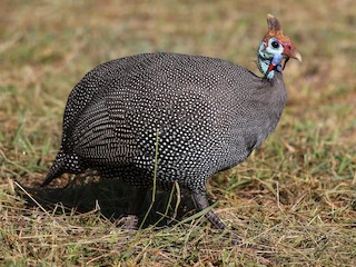 - Helmeted Guineafowl (Tufted)