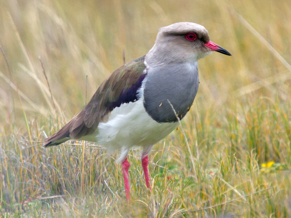 Andean Lapwing - Jon Lowes