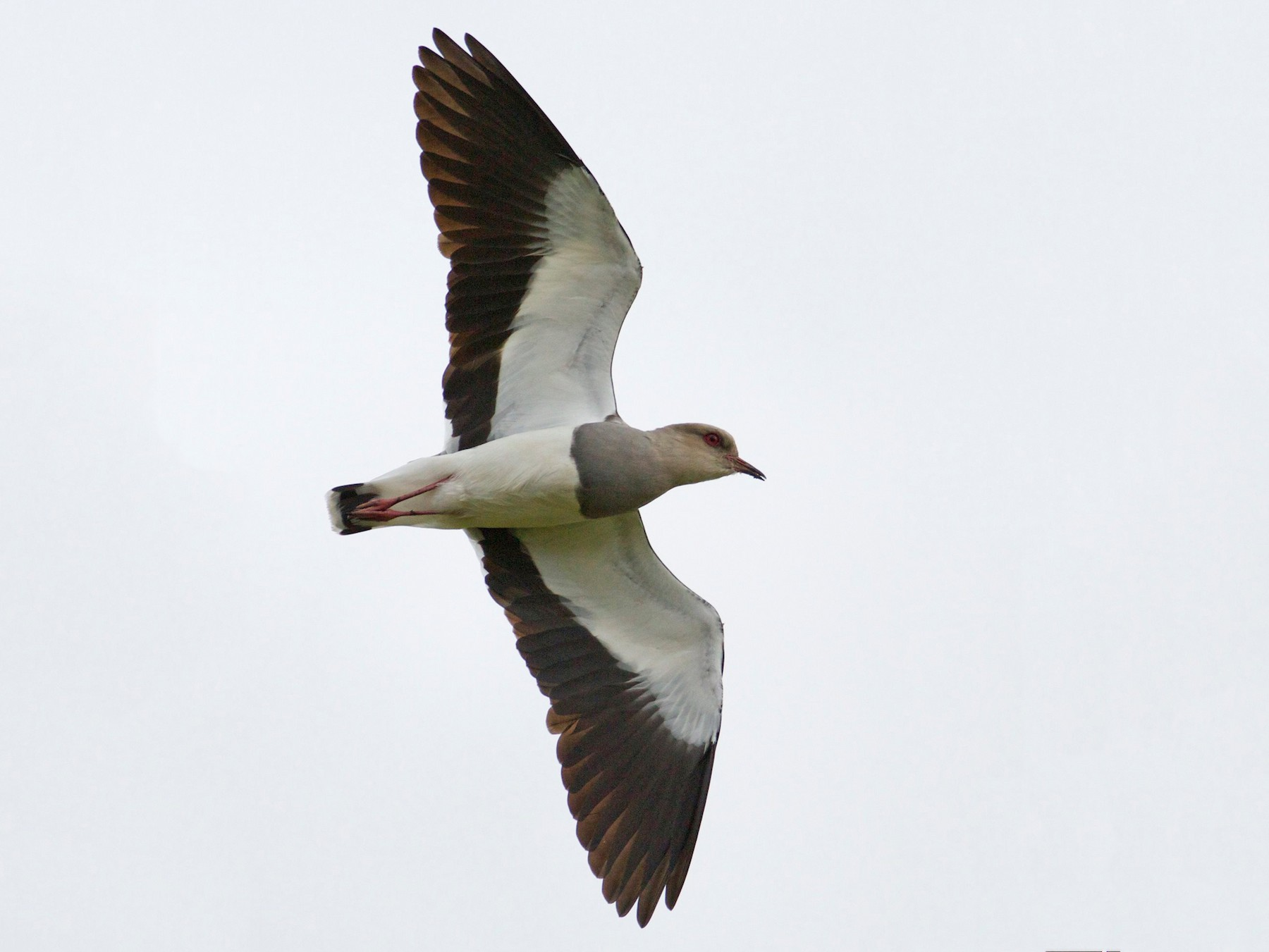 Andean Lapwing - Eric Barnes
